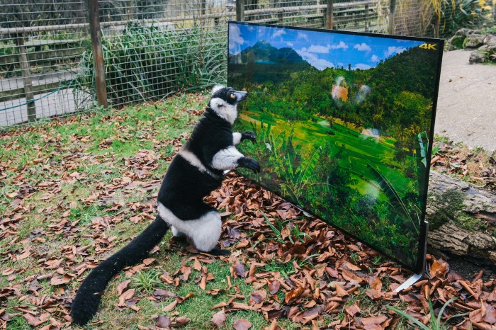 lemuri1