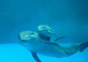 AcquariodiGenova cucciolo delfino con mamma Luna (2)